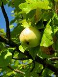 Apple在庭院里 免版税图库摄影