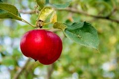 Apple庭院 库存照片