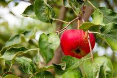 Apple庭院 免版税图库摄影