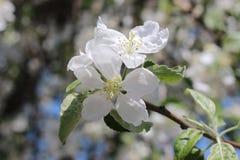 Apple开花在春天 免版税库存照片