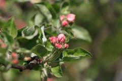 Apple结构树花 库存照片