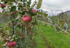 Apple-árbol fotografía de archivo libre de regalías