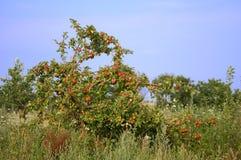 Apple-árbol Foto de archivo