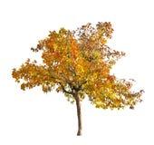 Apple-árbol amarillo de la caída aislado en blanco Fotografía de archivo