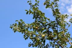 Apple-árbol con las manzanas sobre un cielo azul Fotografía de archivo