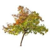 Apple-árbol de la caída aislado en blanco Fotos de archivo libres de regalías
