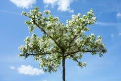 Apple-árbol decorativo imagen de archivo libre de regalías