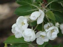 Apple-árbol en la floración Imagen de archivo libre de regalías