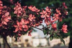 Apple-árbol floreciente Foto de archivo