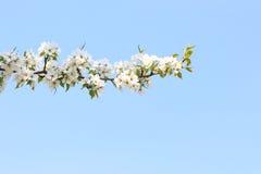 Apple-árbol floreciente de la rama contra el cielo Foto de archivo libre de regalías
