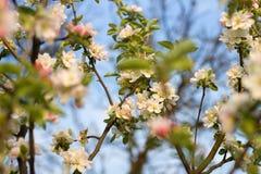 Apple-árbol floreciente de la rama en la madrugada Imagen de archivo libre de regalías