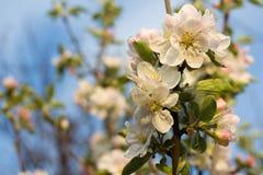 Apple-árbol floreciente de la rama en la madrugada Fotografía de archivo libre de regalías