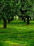 Apple-árboles. Una hierba. Árboles. Foto de archivo libre de regalías