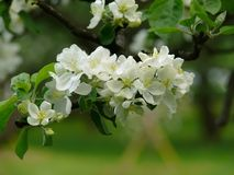 Apple-árvore. Florescência. Flor. Fotos de Stock Royalty Free