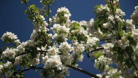 Apple-árvore na flor video estoque