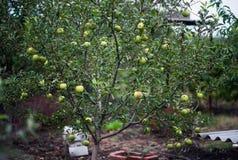 Apple äpplen, plommoner, tomater, druvor, jordgubbar Hur man växer trädgårds- växter i sommar royaltyfria foton