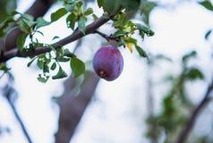 Apple äpplen, plommoner, tomater, druvor, jordgubbar Hur man växer trädgårds- växter i sommar fotografering för bildbyråer