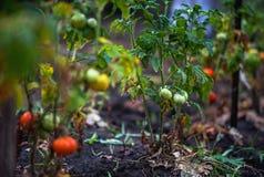 Apple äpplen, plommoner, tomater, druvor, jordgubbar Hur man växer trädgårds- växter i sommar arkivfoto
