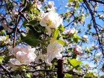 Apple-δέντρα στην άνθιση Στοκ εικόνα με δικαίωμα ελεύθερης χρήσης