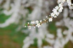 Apple-δέντρο άνοιξη στο άνθος Στοκ εικόνα με δικαίωμα ελεύθερης χρήσης