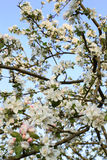 Apple-δέντρο ανθών κάτω από τον μπλε ουρανό άνοιξη Στοκ εικόνα με δικαίωμα ελεύθερης χρήσης