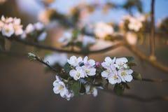 Apple-δέντρο ανθών στον κήπο, όμορφο υπόβαθρο Στοκ φωτογραφία με δικαίωμα ελεύθερης χρήσης