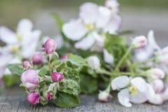Apple-δέντρο κλάδων με τα όμορφα λουλούδια και τους σφιχτούς οφθαλμούς ledit επάνω Στοκ Εικόνα