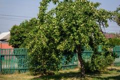 Apple-δέντρο με τα ακόμα μη ώριμα μήλα το καλοκαίρι ηλιόλουστο Στοκ Φωτογραφίες