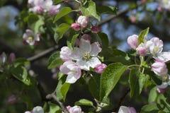 Apple-δέντρο στην άνθιση Στοκ Εικόνες
