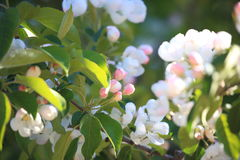 Apple-δέντρο στην κινηματογράφηση σε πρώτο πλάνο άνθισης Στοκ εικόνες με δικαίωμα ελεύθερης χρήσης