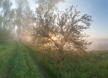 Apple-δέντρο στην ομίχλη Στοκ Φωτογραφία