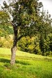 Apple-δέντρο στον τομέα Στοκ εικόνα με δικαίωμα ελεύθερης χρήσης