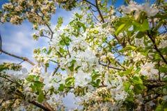 Apple-δέντρο Στοκ εικόνα με δικαίωμα ελεύθερης χρήσης