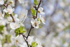 Apple-δέντρο pumila Malus μικρό DOF Στοκ φωτογραφία με δικαίωμα ελεύθερης χρήσης