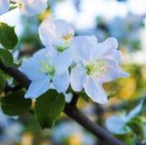 Apple-δέντρο στην άνθιση Στοκ Φωτογραφίες