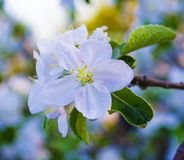 Apple-δέντρο στην άνθιση Στοκ εικόνες με δικαίωμα ελεύθερης χρήσης