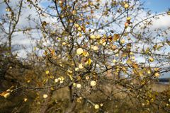 Apple-δέντρο φθινοπώρου Στοκ Εικόνες