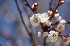 Apple-δέντρο pumila Malus μικρό DOF Στοκ Εικόνα