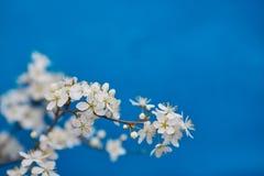 Apple-δέντρο pumila Malus μικρό DOF Στοκ Φωτογραφία