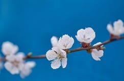 Apple-δέντρο pumila Malus μικρό DOF Στοκ Φωτογραφίες