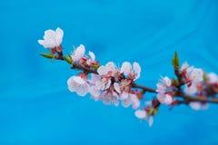 Apple-δέντρο pumila Malus μικρό DOF Στοκ Εικόνες