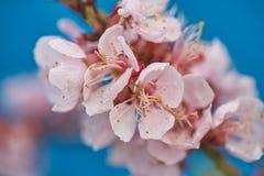 Apple-δέντρο pumila Malus μικρό DOF Στοκ φωτογραφίες με δικαίωμα ελεύθερης χρήσης