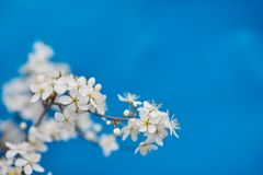 Apple-δέντρο pumila Malus μικρό DOF Στοκ εικόνες με δικαίωμα ελεύθερης χρήσης