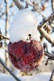 Apple κάτω από το χιόνι Στοκ Φωτογραφία