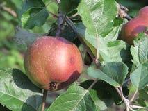 Apple - κήπος - που καλλιεργεί - οργανική τροφή Στοκ φωτογραφίες με δικαίωμα ελεύθερης χρήσης