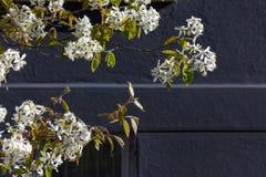 Apple και άνθος κερασιών Στοκ φωτογραφία με δικαίωμα ελεύθερης χρήσης