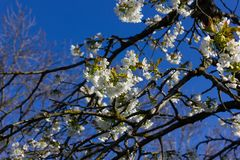 Apple και άνθος κερασιών Στοκ φωτογραφίες με δικαίωμα ελεύθερης χρήσης
