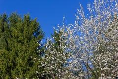 Apple και άνθος κερασιών Στοκ εικόνα με δικαίωμα ελεύθερης χρήσης