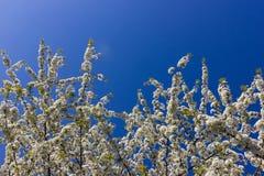 Apple και άνθος κερασιών Στοκ Φωτογραφίες