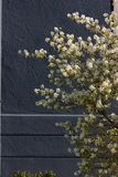 Apple και άνθος κερασιών Στοκ Εικόνες